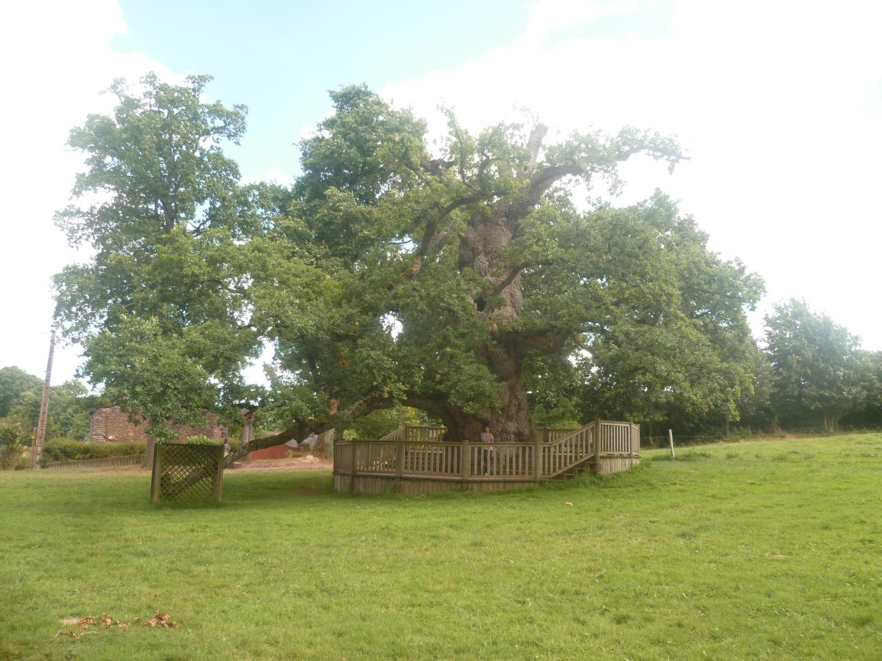 Le chêne à Guillotin - Brocéliande