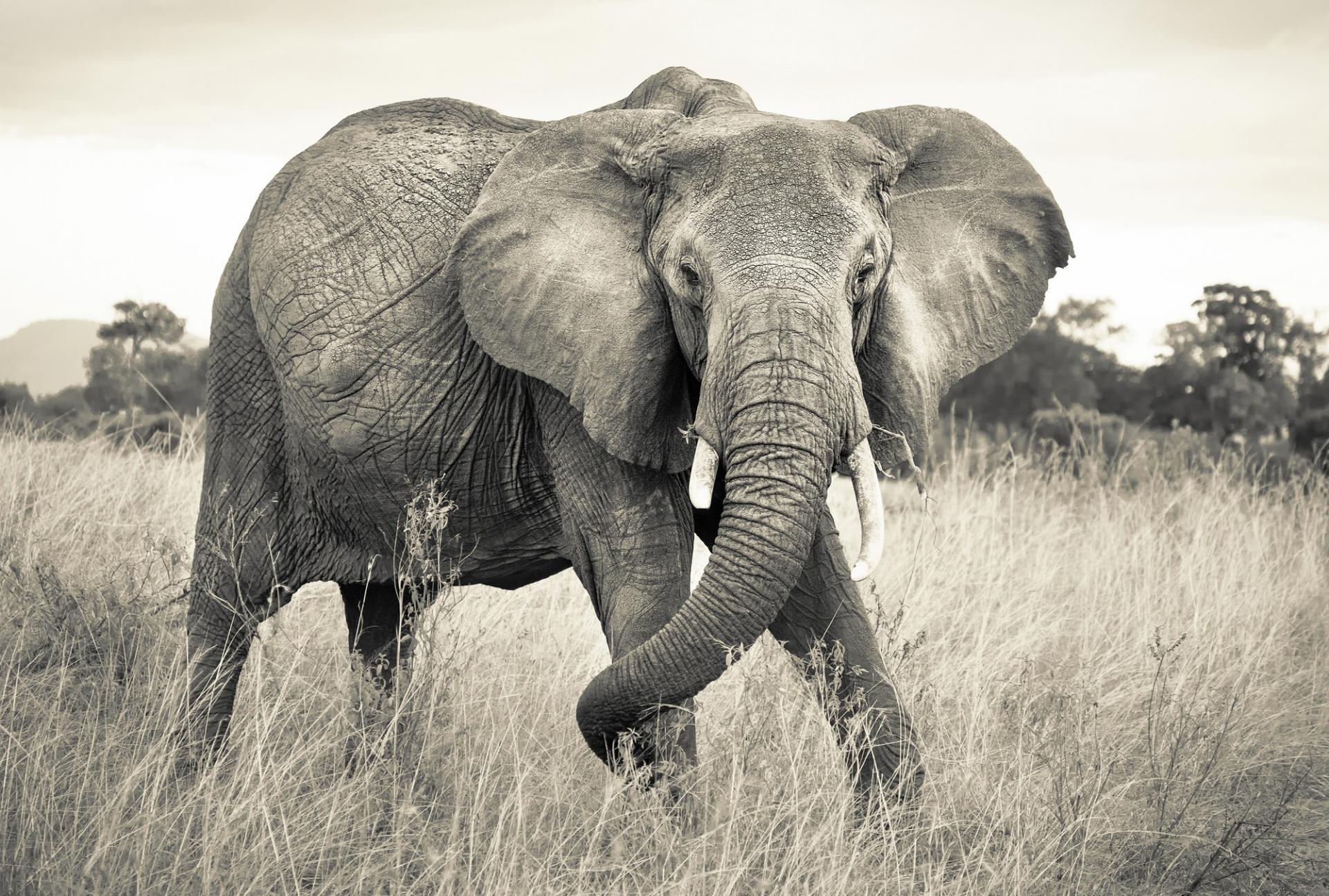 Elephant noir