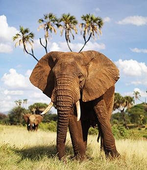 Elephant palmier