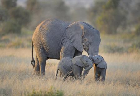 Elephanteaux et leur maman