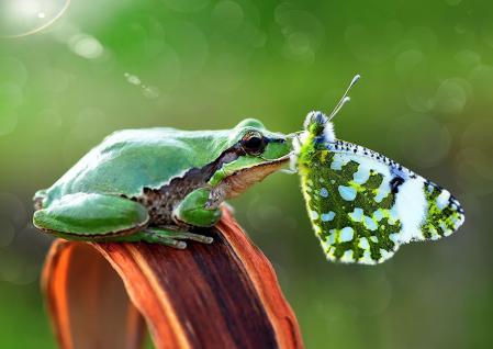 Grenouille papillon