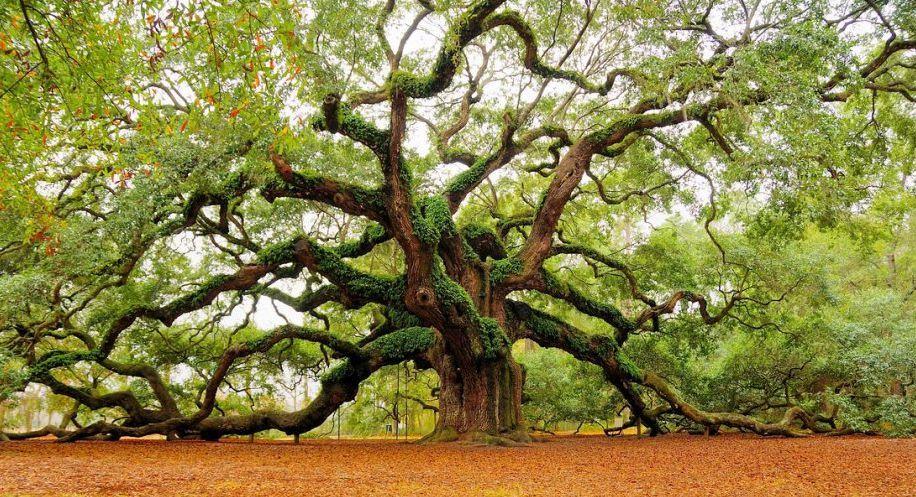 Les plus beaux arbres du monde caroline du sud