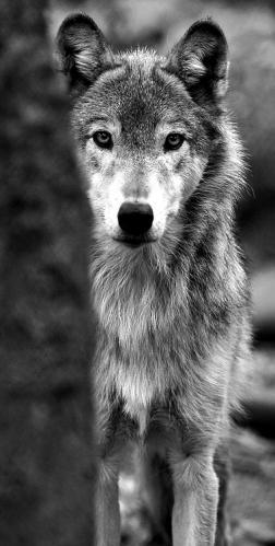 Loup noir et blanc