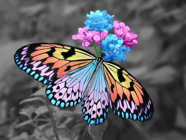 Papillon 62 3be13e3