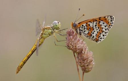 Papillon libellule