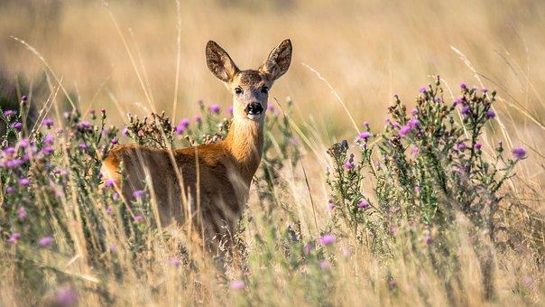Roe deer 2615377 340 1